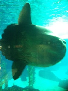 Another Ugly Sunfish