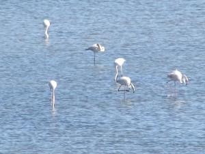 White Flamingoes in Alvor