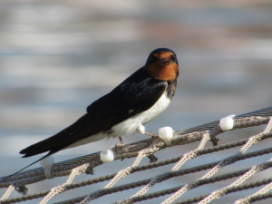A feathered visitor - Red Rumped Swallow I believe